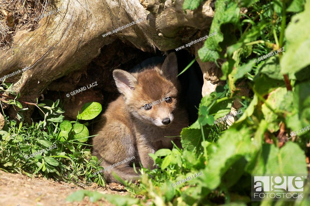 Stock Photo: Red Fox, vulpes vulpes, Cub standing at Den Entrance, Normandy.