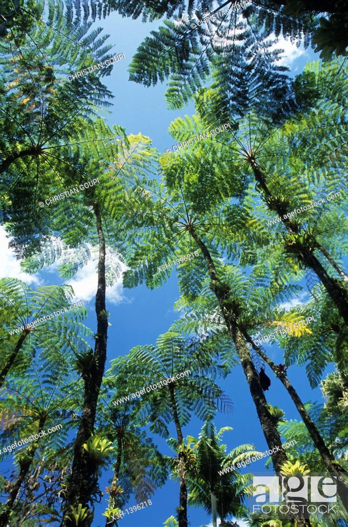 Stock Photo: fougeres arborescentes Jardin de Balata Ile de la Martinique Departement et Region d'Outremer francais Archipel des Antilles Caraibes//fern tree Garden of.
