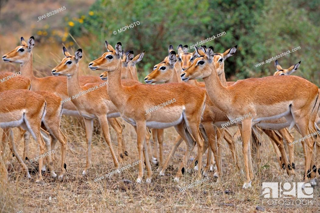 Imagen: impala (Aepyceros melampus), group of females, Kenya, Masai Mara National Park.