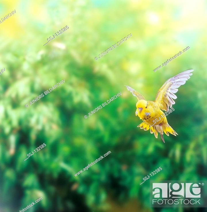 Stock Photo: budgerigar - flying / Melopsittacus undulatus restrictions: Tierratgeber-Bücher / animal guidebooks, puzzles worldwide, mobile phone content worldwide.