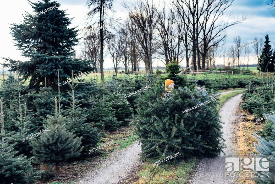 Stock Photo: Brother and sister choosing Christmas tree on a farm, pulling it home.