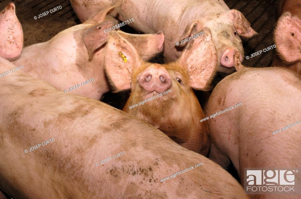 Stock Photo: Pigs on the farm.