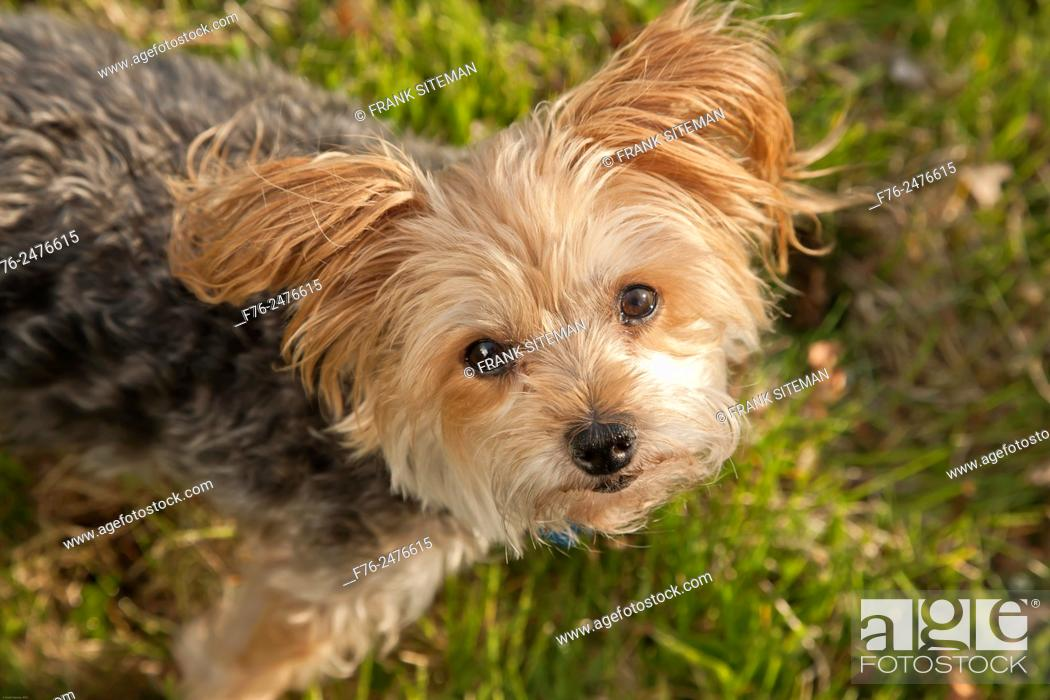 Stock Photo: Yorkshire terrier, MR 120513.