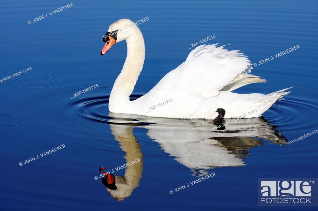 Stock Photo: Mute Swan, Cygnus olor, with reflection in blue water Richard DeKortev Park, Lyndhurst, NJ, USA.