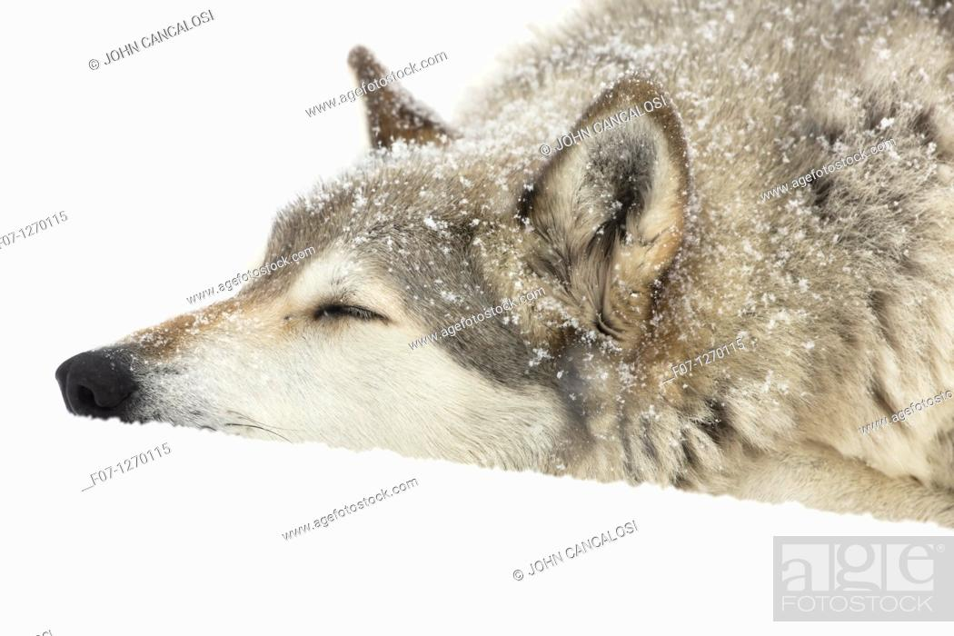 Stock Photo: Gray Wolf Timber Wolf  Canis lupus . Male, captive. Originally found throughout most of North America except western California and the Southeast.