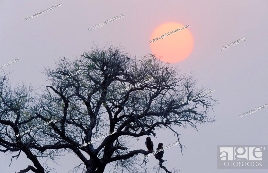Stock Photo: Bateleur Terathopius ecaudatus - Pair perching on a tree at sunset  Kruger National Park, South Africa.