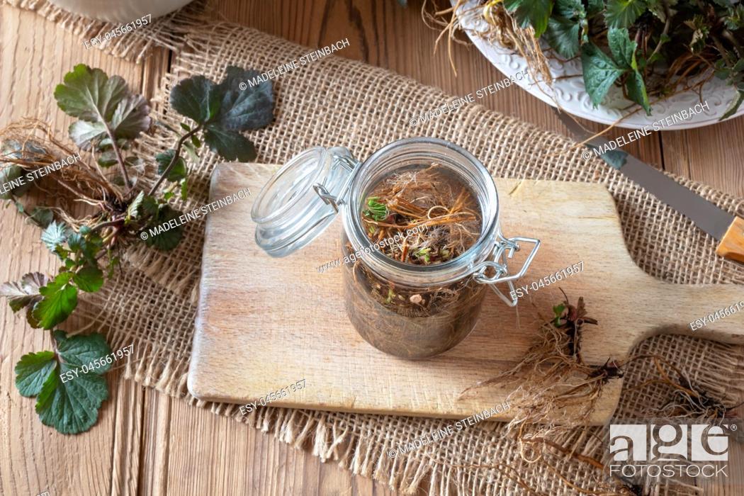 Stock Photo: Preparation of Herb Bennet tincture from fresh Geum urbanum roots.
