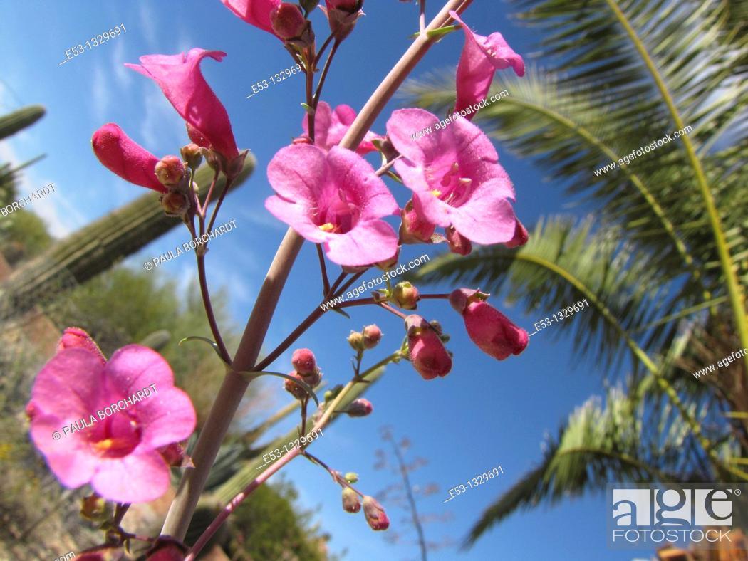 Stock Photo: Parry's penstemon flowers Penstemon parryi, saguaro cactus, palm tree, Tucson, Arizona, USA.