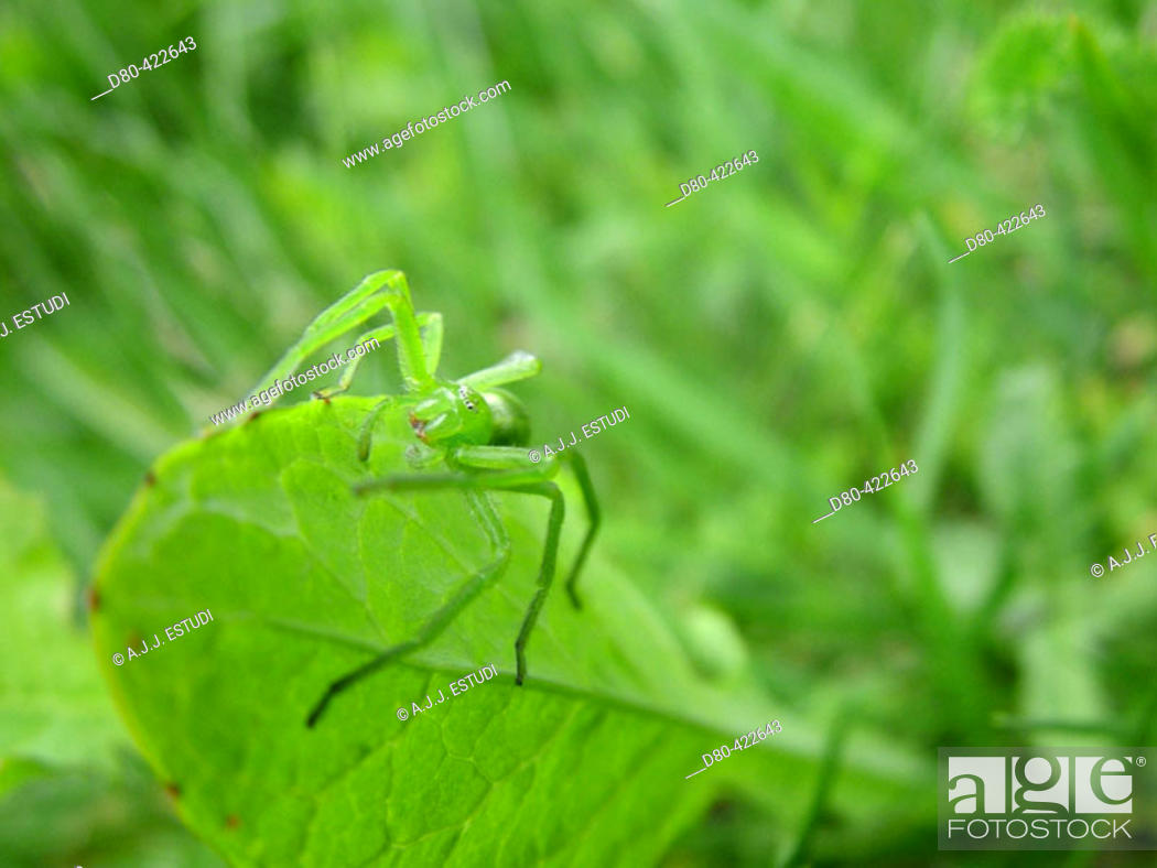 Stock Photo: Crab Spider (Thomisus onustus).