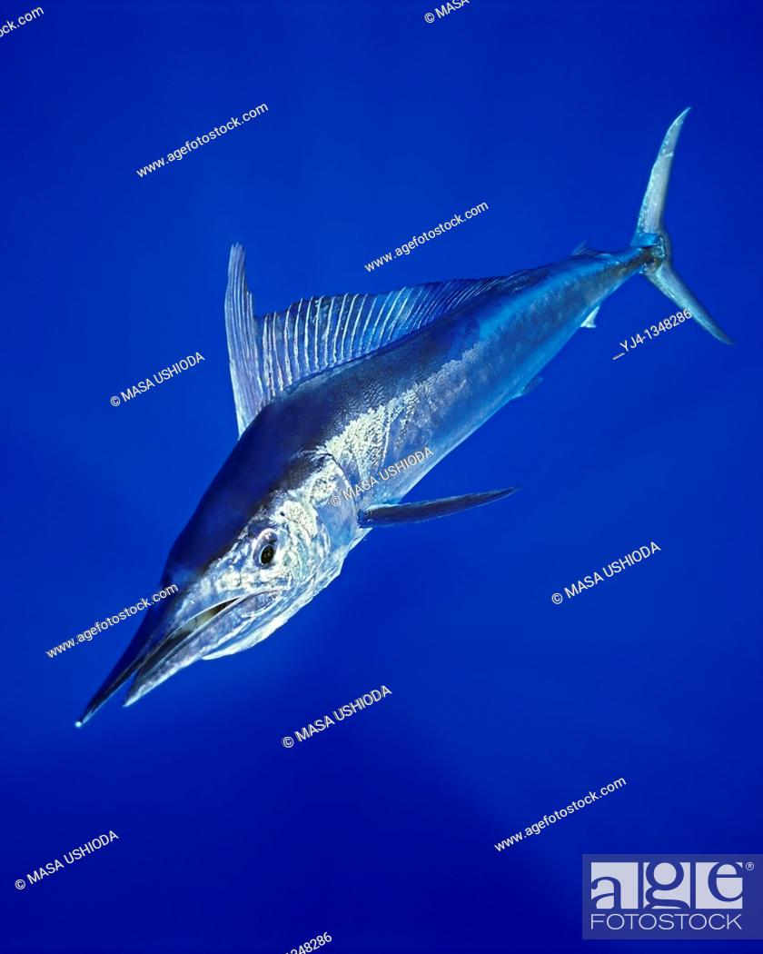 Stock Photo: short-billed spearfish, Tetrapterus angustirostris, Kona Coast, Big Island, Hawaii, USA, Pacific Ocean.