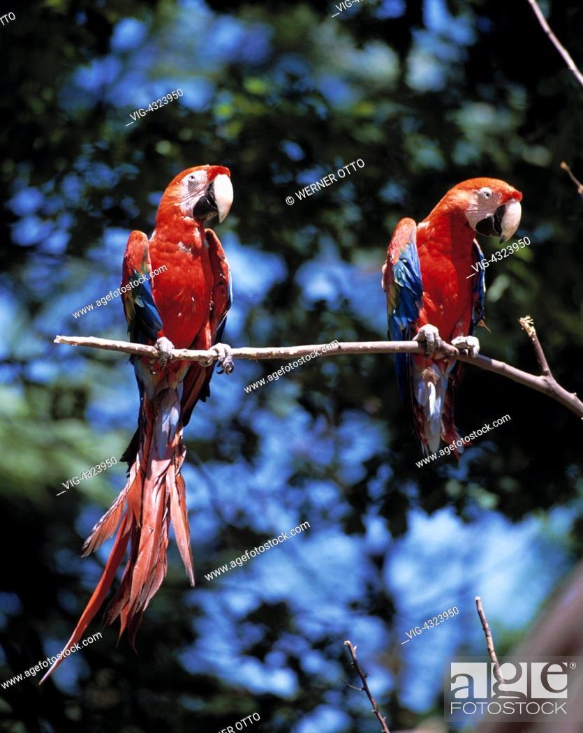 online retailer 54e86 4351b DEUTSCHLAND, GELSENKIRCHEN, Ara, zwei Aras im Zoo, Arakanga ...