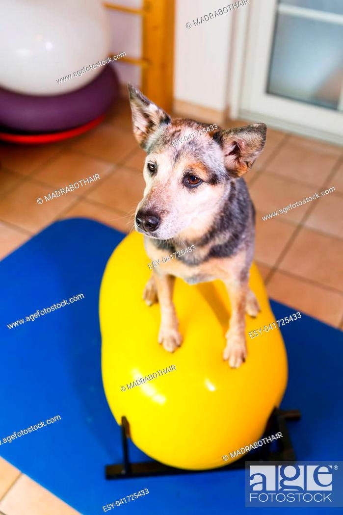 Stock Photo: picture of an Australian Cattledog who sits on a trainings device in an animal physiotherapy office.