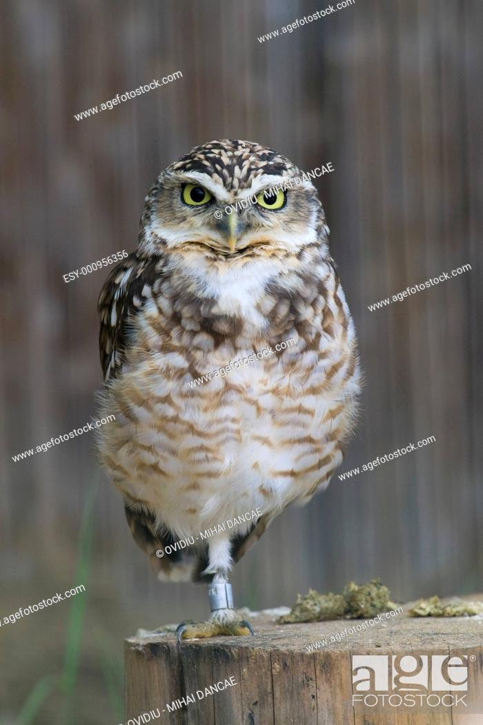 Stock Photo: Burrowing Owl Portrait.