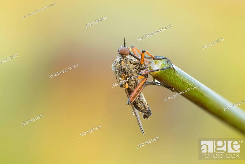 Imagen: Dance fly (Empis opaca) resting on stem, The Netherlands, Noord-brabant, Veldhoven, Dommeldal.