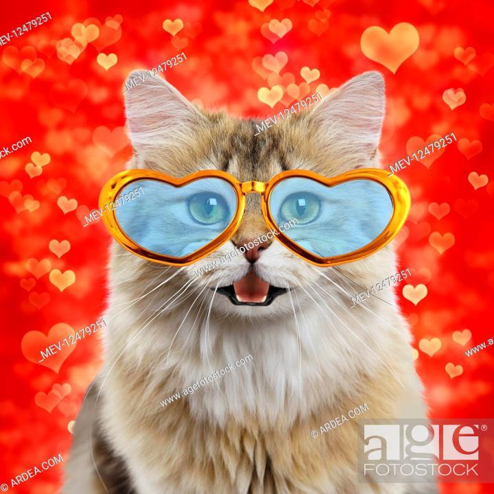 Stock Photo: Cat - British longhair black golden shaded -.