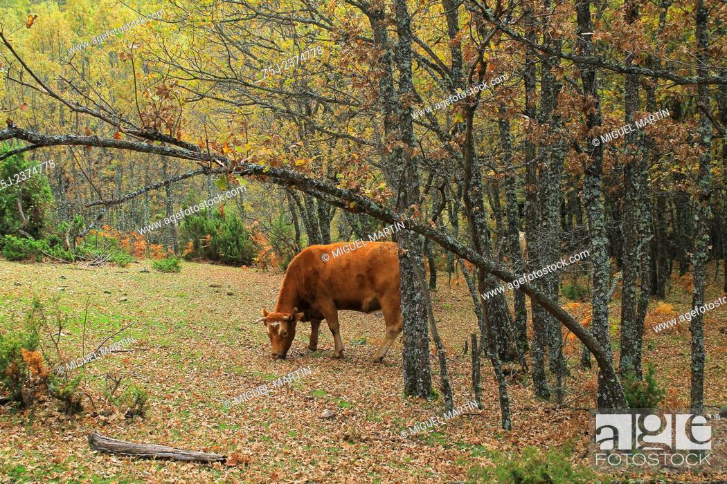 Stock Photo: A cow looks the photographer while grazing pleasantly between oak trees close to the Aguilón river and the trekking route leading to the El Purgatorio falls.