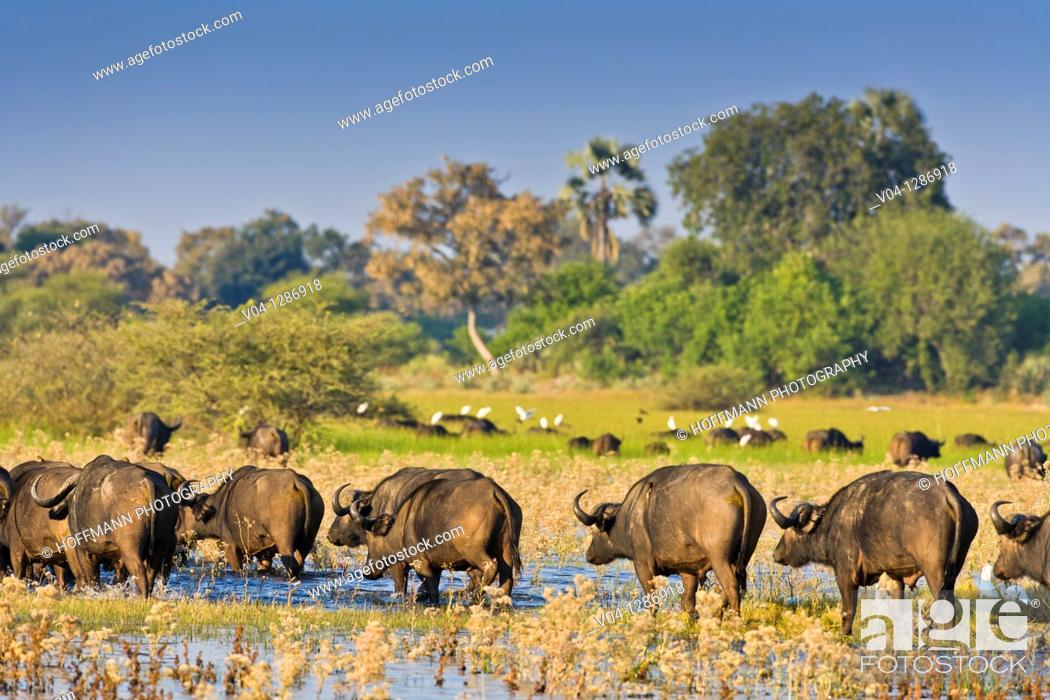 Stock Photo: A herd of african buffalos (Syncerus caffer) crossing through water in the Okavango Delta, Botswana.