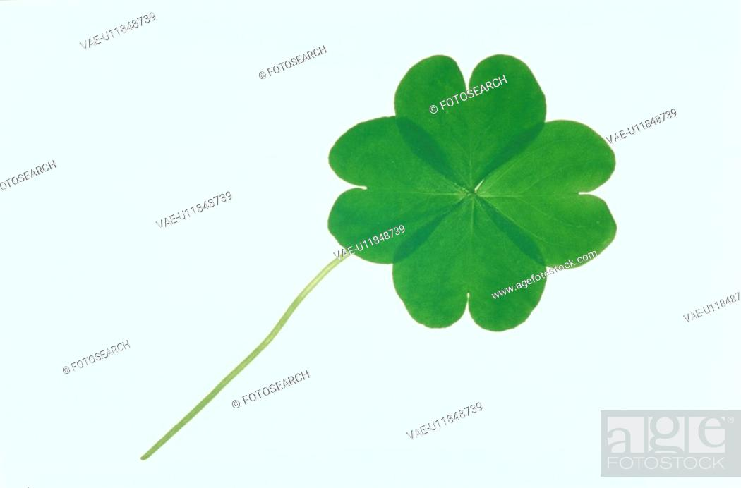 Stock Photo: Clover With Four Leaves.