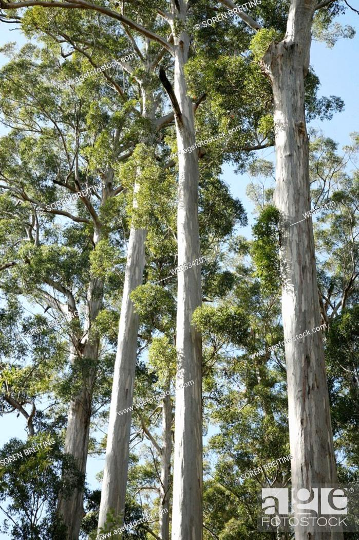 Stock Photo: 'The Four Aces', a famous stand of Karri trees, Eucalyptus diversicolor, Myrtaceae, Myrtle family, around 300 years old, at Manjimup on Graphite Road.