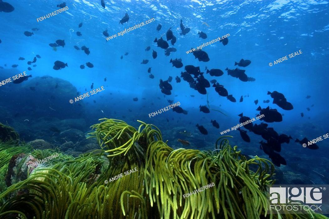 Stock Photo: Green algae, Caulerpa racemosa and black durgon, Melichthys niger, schooling, St. Peter and St. Paul's rocks, Brazil, Atlantic Ocean.