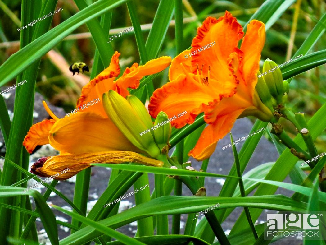 Stock Photo: Lily, lilium.