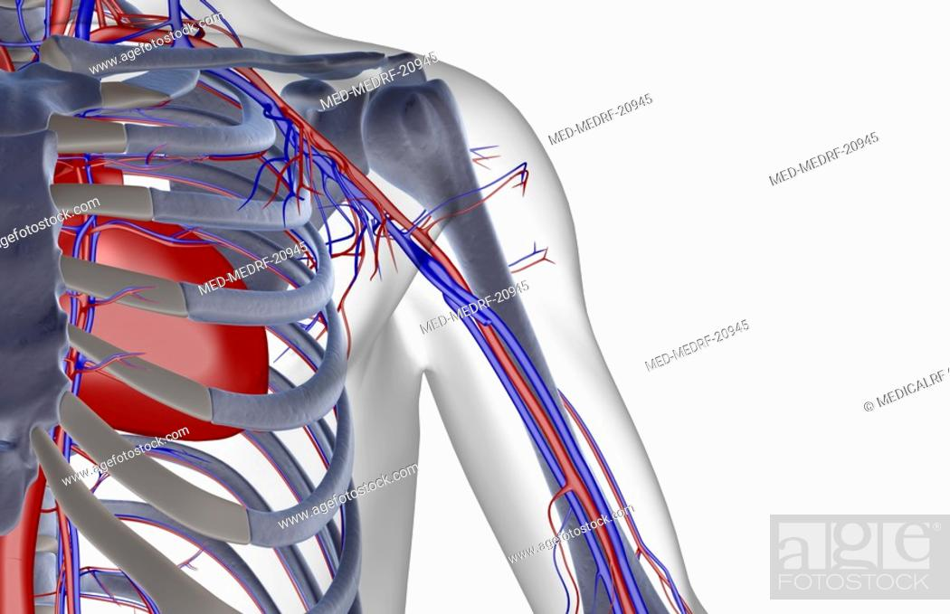 Stock Photo: The blood supply of the shoulder.