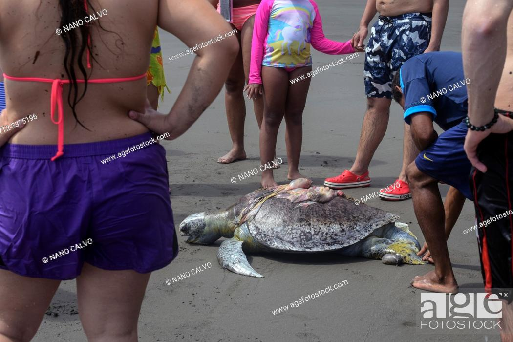 Stock Photo: Crowd surrounding dead hawksbill sea turtle (Eretmochelys imbricata) killed by boat propeller in Ladrilleros, Pacific Coast of Colombia.