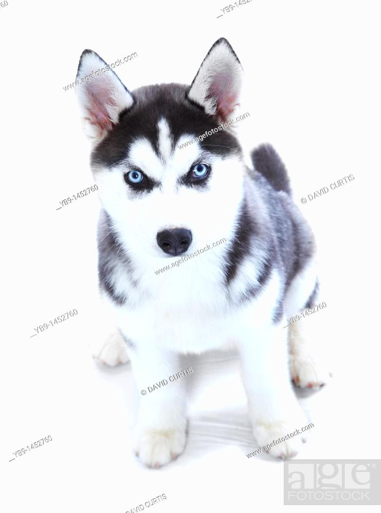 Stock Photo: A Siberian Husky puppy.