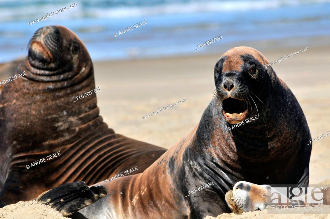 Stock Photo: Endemic New Zealand or Hooker's sea lion, Phocarctos hookeri, one of the rarest species of sea lions in the world, Catlins coast, South Island, New Zealand.