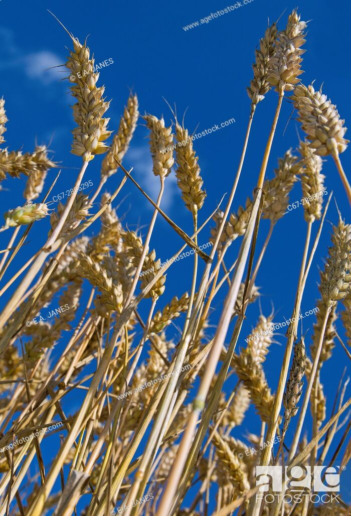 Stock Photo: Wheat crop at Harvest time Norfolk August.