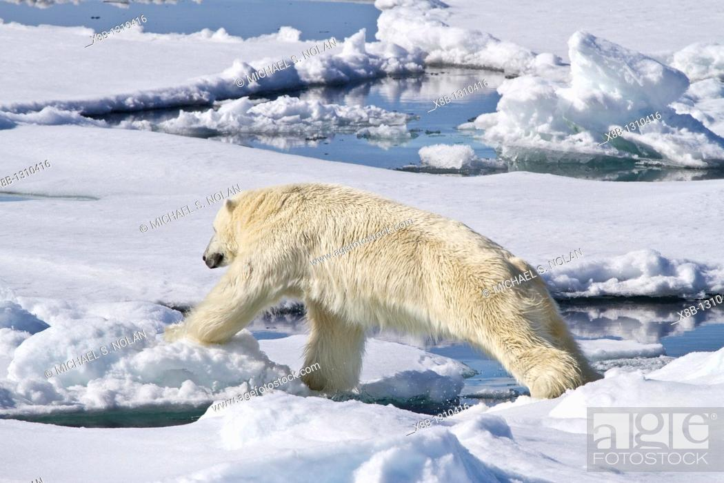 Photo de stock: Adult male polar bear Ursus maritimus on multi-year ice floes in the Barents Sea off the eastern coast of Spitsbergen in the Svalbard Archipelago.
