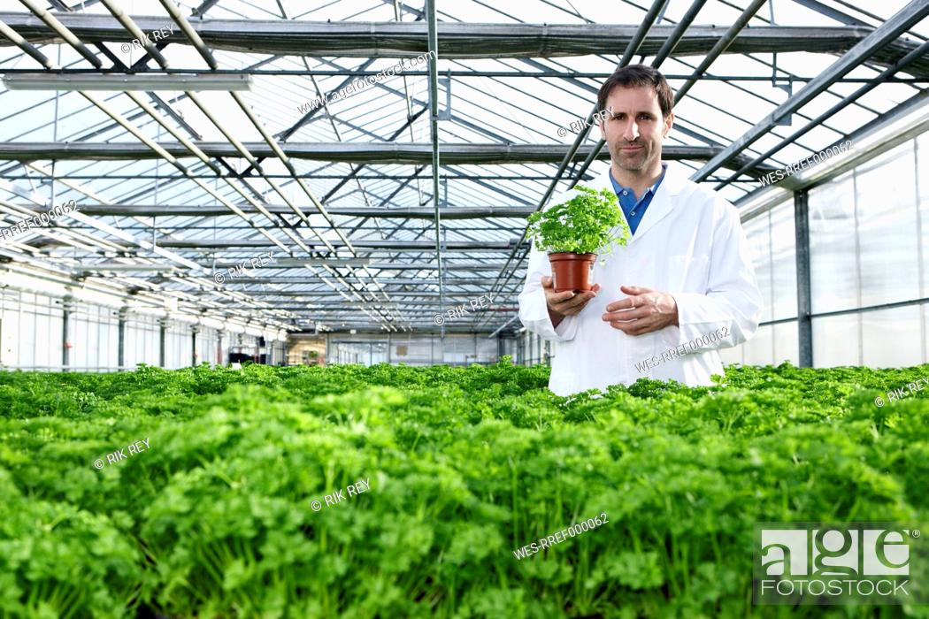 Stock Photo: Germany, Bavaria, Munich, Scientist standing between parsley plant in greenhouse.