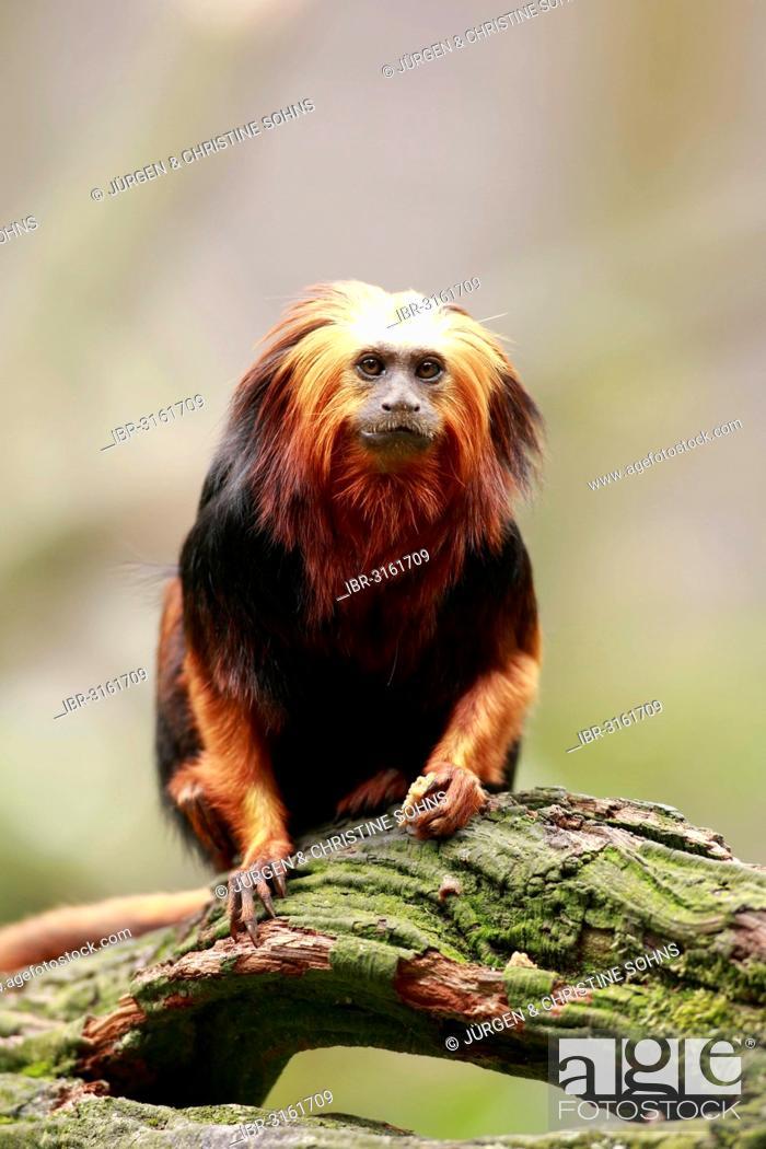Stock Photo: Golden-headed Lion Tamarin (Leontopithecus chrysomelas), captive, Apeldoorn, Gelderland, The Netherlands.