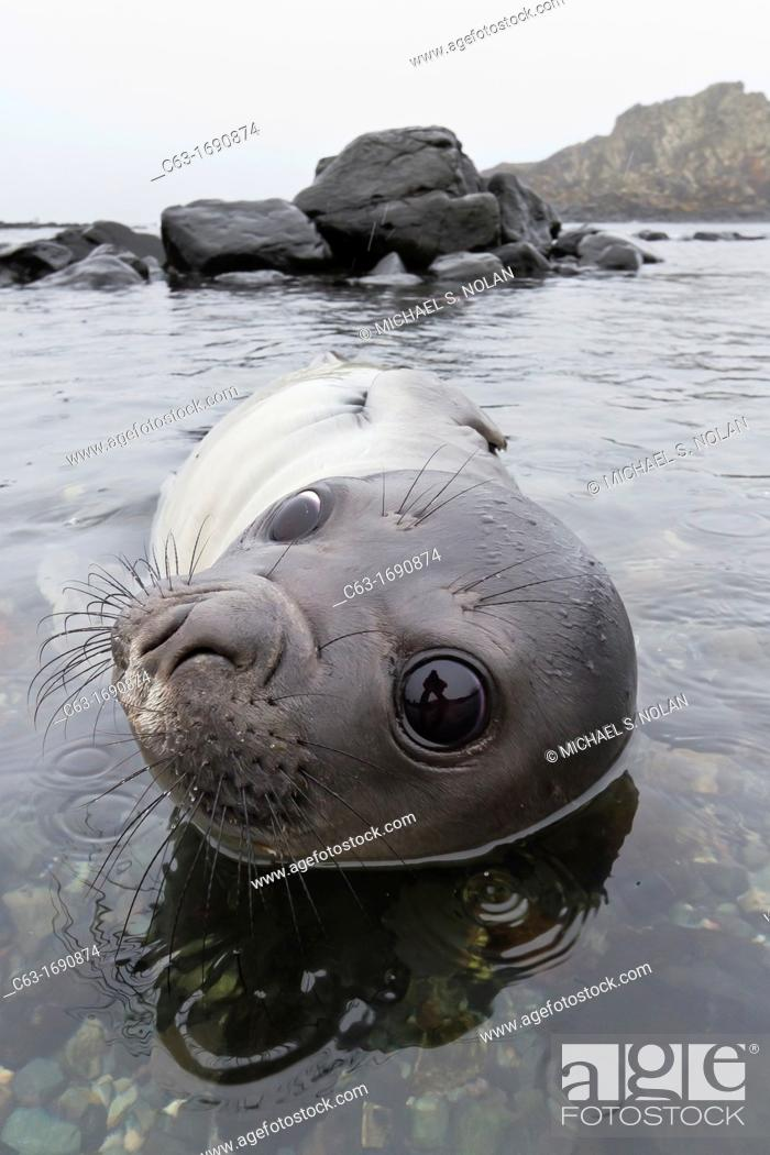Imagen: Friendly southern elephant seal Mirounga leonina weaner pup close up on the beach at Snow Island, Antarctica.