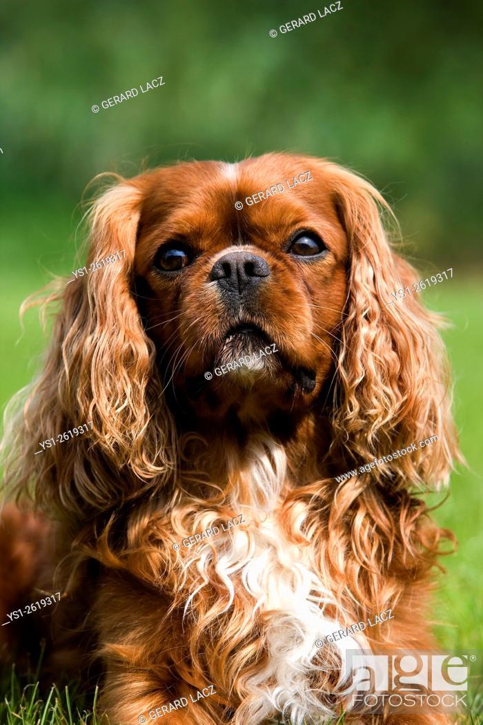 Stock Photo: Cavalier King Charles Spaniel, Portrait of Male.