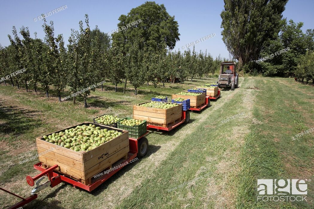 Stock Photo: Collecting pears conference from trees  LLeida  Spain.