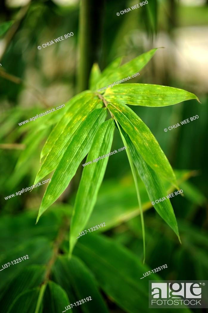 Stock Photo: Bamboos. Orchid Garden, Kuching, Sarawak, Malaysia.