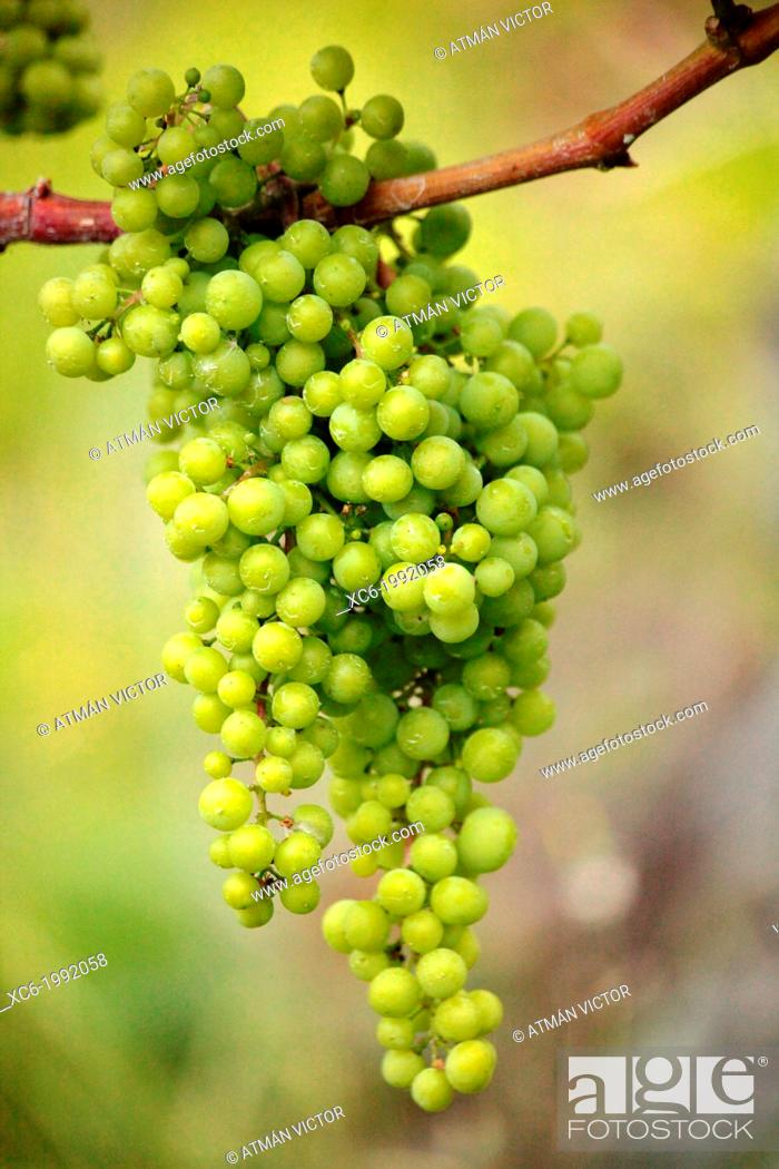 Stock Photo: grape bunch hanging on the vine.