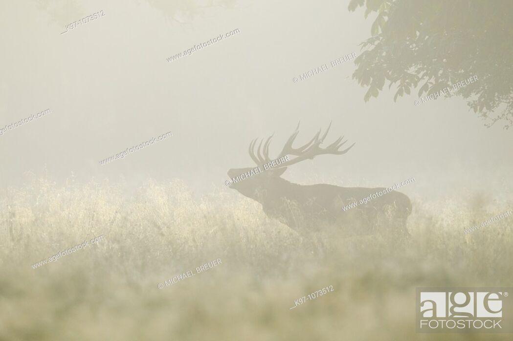 Stock Photo: Red deer (Cervus elaphus) during the rutting season in morning mist, Denmark, Europe.