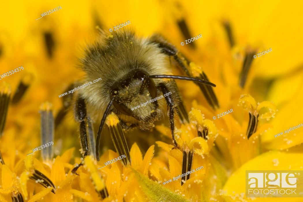 Stock Photo: Knapweed carder-bee Bombus sylvarum?.
