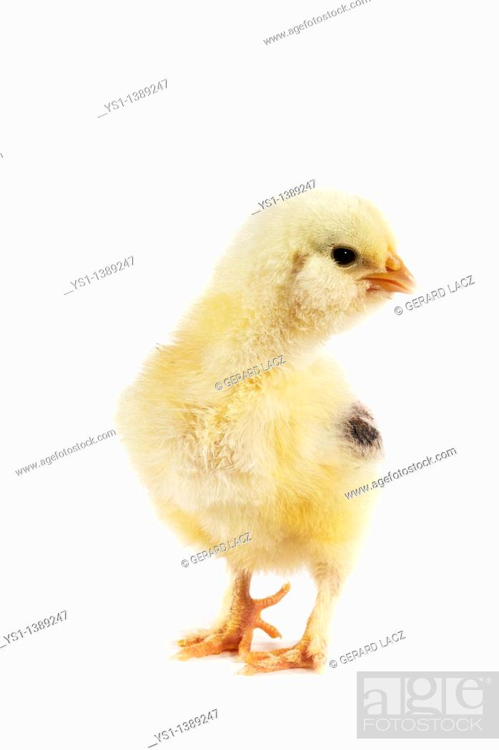 Stock Photo: Domestic Chicken, Chick against White Background.