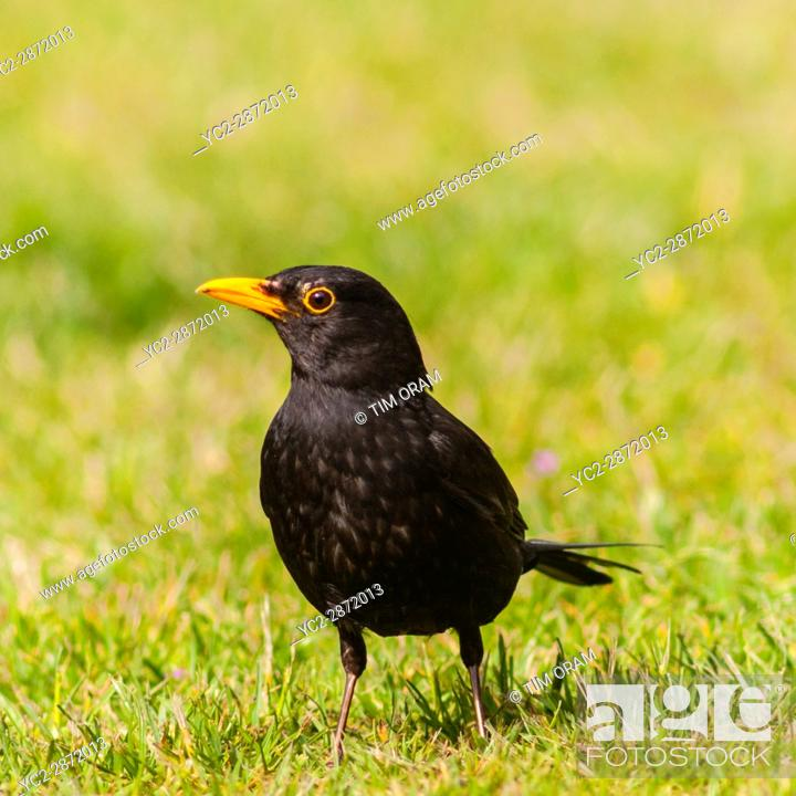 Stock Photo: A Male Blackbird (Turdus merula) in the Uk.