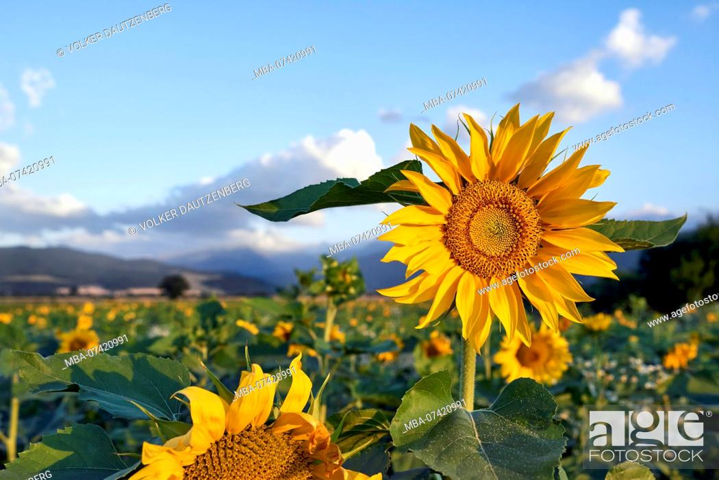 Stock Photo: Sunflowers in the morning light.