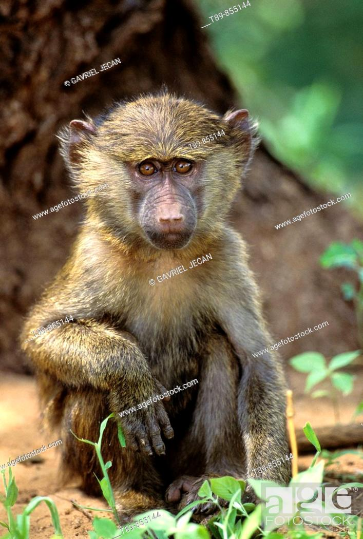Stock Photo: Young Olive Baboon, Papio anubis.