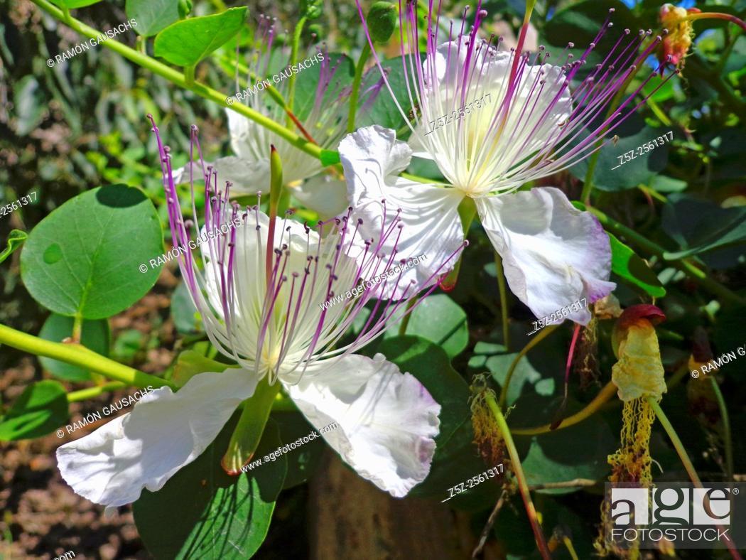 Photo de stock: Caper (Capparis spinosa).