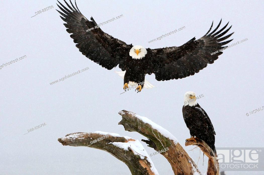 Stock Photo: Bald Eagle (Haliaeetus leucocephalus). Alaska, USA.
