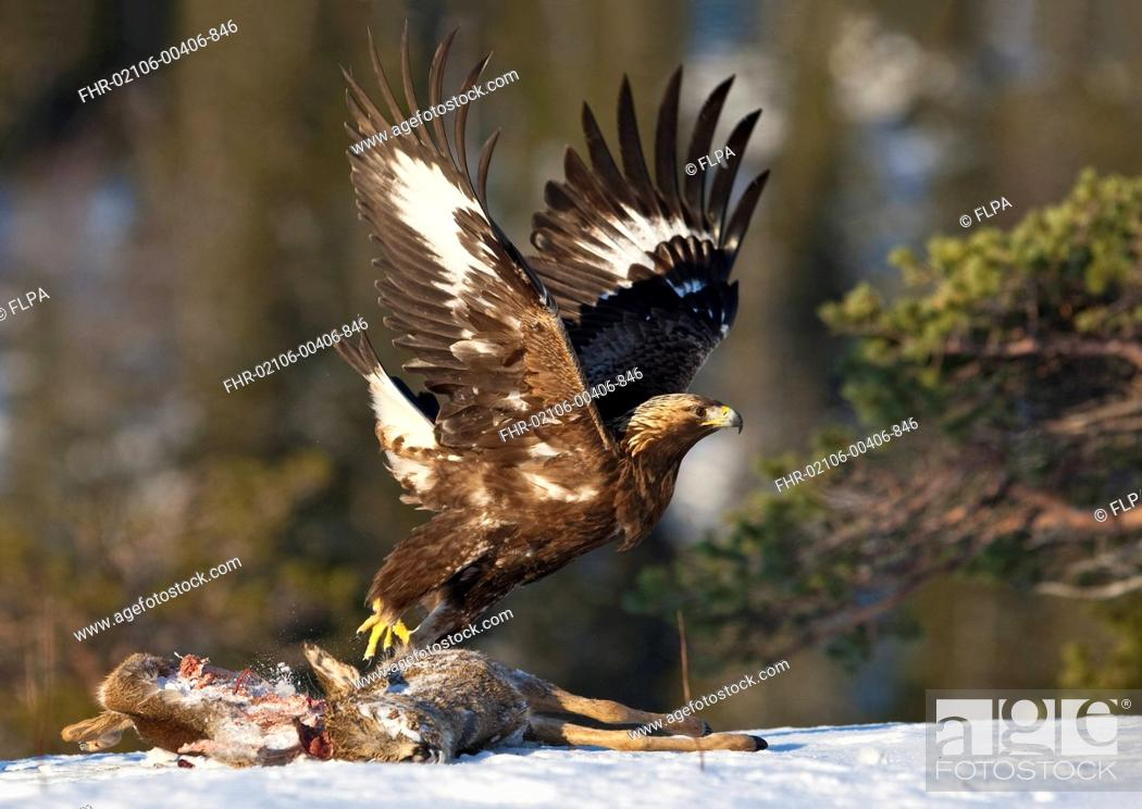 Stock Photo: Golden Eagle Aquila chrysaetos adult, in flight, taking off from Western Roe Deer Capreolus capreolus carcass in snow, Flatanger, Norway, february.