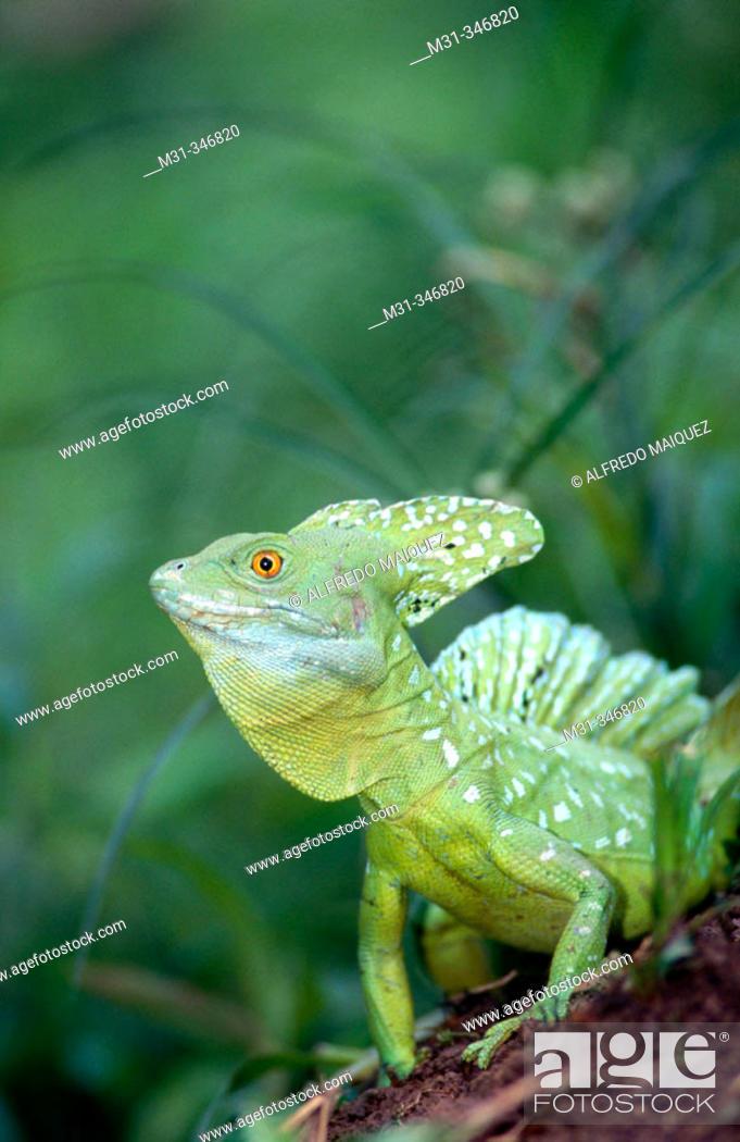 Stock Photo: Green Basilisk (Basiliscus plumifrons). Osa peninsula, Costa Rica.