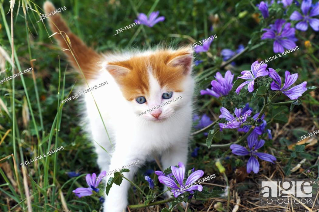 Stock Photo: A beautiful white and red kitten is walking through a meadow with wildflowers.