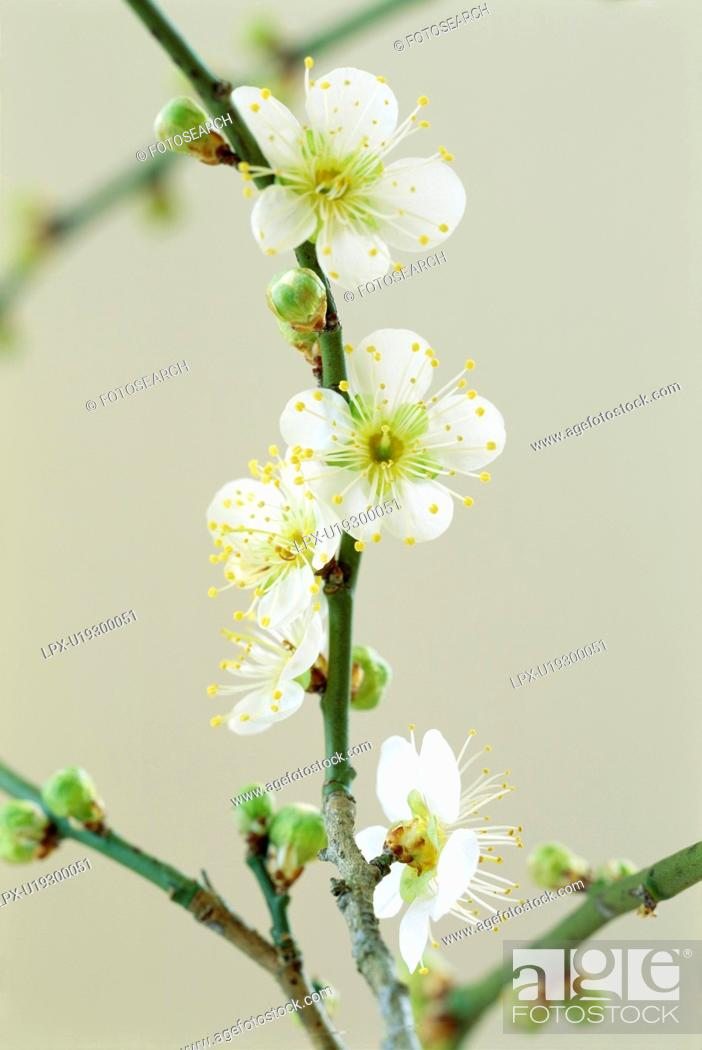 Stock Photo: Plum blossoms, Tochigi Prefecture, Japan.